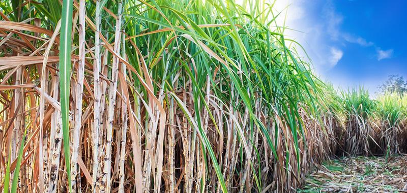 Qual a importância do Power Cana para o crescimento da cana de açúcar?