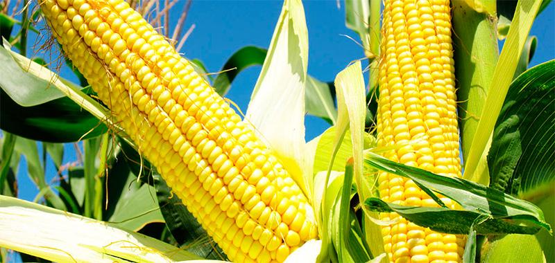 A vez do milho: segunda safra tem produção recorde no Brasil