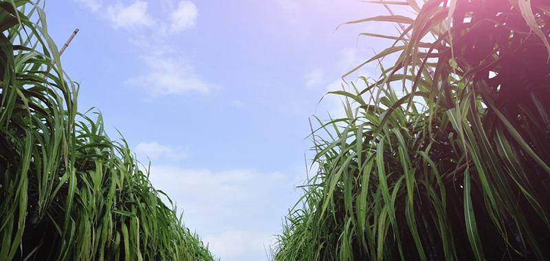 Como potencializar o cultivo da cana de açúcar