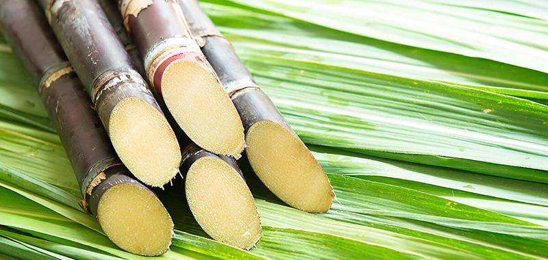 Conheça as épocas de plantio da cana de açúcar