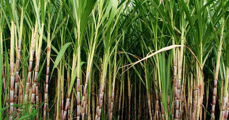 Power Cana: Maior vigor e arranque vegetativo mais rápido